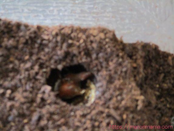 カブトムシ 蛹 カビ カブトムシがさなぎ失敗に陥る原因とカビ発生の対処法