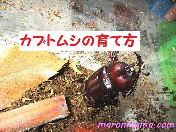 カブトムシの飼育 幼虫から蛹、成虫になるまで初心者が育てた日記①