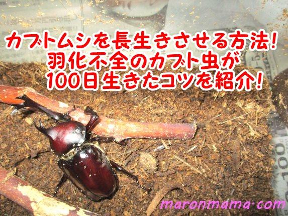 カブトムシを長生きさせるコツ!羽化不全のカブト虫の寿命も紹介!