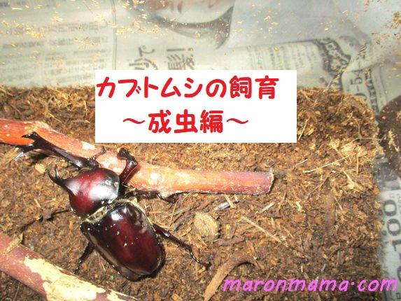カブトムシの飼育 成虫を初心者が育てた日記②