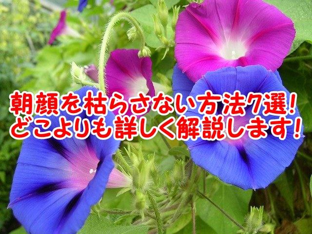 朝顔が枯れる原因7選!これさえ気を付ければきれいなあさがおの花が咲きます!