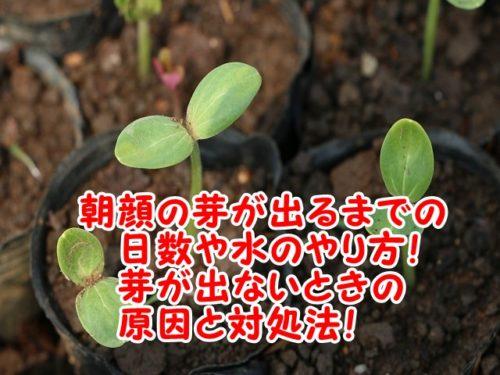 朝顔の芽が出るまでの日数や水のやり方。芽が出ないときの原因と対処法