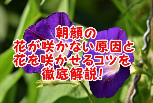 朝顔の花が咲かない原因や花を咲かせるコツ。つぼみがつかない原因のまとめ。